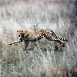 Agile Projects and Cheetahs
